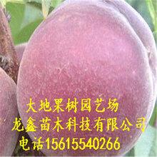 鄭99-10-7桃樹苗哪里有、鄭99-10-7桃樹苗哪里有出售基地