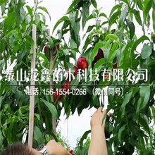 錦園黃桃樹苗價格、錦園黃桃樹苗廠家價格