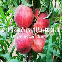優質冰糖紅硬桃樹苗價格