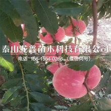 紫肉血桃樹苗價格、紫肉血桃樹苗批發價格