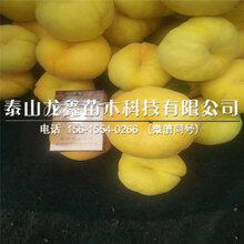 新品種油桃樹苗價格