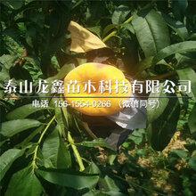 優質永蓮蜜桃1號桃樹苗價格