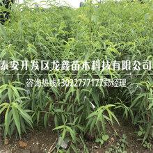 冬豐桃樹苗價格、冬豐桃樹苗供應價格