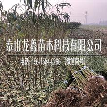 新品種中華福桃樹苗價格