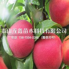 黃金冠桃樹苗哪里有、黃金冠桃樹苗哪里有