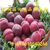 金秋红蜜桃树苗出售供应、金秋红蜜桃树苗出售供应
