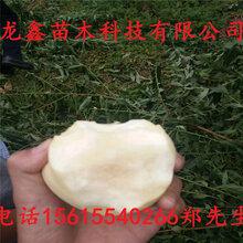 今年加納巖桃樹苗價格