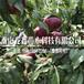 新品种黄金蜜一号桃树苗价格、黄金蜜一号桃树苗包邮价格