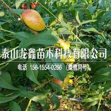 2018年新川中島桃樹苗價格