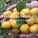 优质珍珠油杏树苗批发厂家、