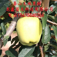 批發蘋果樹苗價格、蘋果樹苗價格