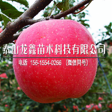 購買煙富6號蘋果樹苗哪里出售、煙富6號蘋果樹苗哪里出售
