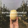 种植红富士苹果树苗哪里有卖的、红富士苹果树苗哪里有卖的