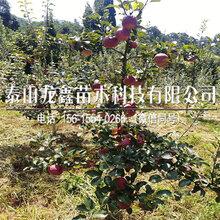今年秦脆蘋果樹苗種植基地、秦脆蘋果樹苗種植基地