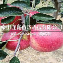 山東華碩蘋果苗基地、華碩蘋果苗基地圖片