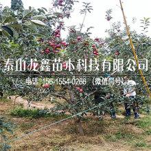 种植烟富8苹果苗价格、烟富8苹果苗价格图片