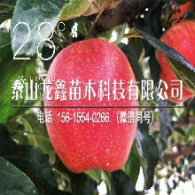 矮化美8苹果苗基地、矮化美8苹果苗哪里有基地图片