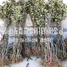 哪有瑞陽蘋果樹苗新品種、瑞陽蘋果樹苗新品種