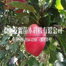 產地維納斯黃金蘋果樹苗哪里出售、維納斯黃金蘋果樹苗哪里出售