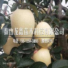 基地煙富10號蘋果樹苗品種、煙富10號蘋果樹苗品種