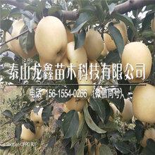購買瑞陽蘋果樹苗批發價格、瑞陽蘋果樹苗批發價格