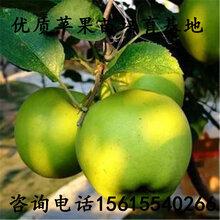 產地玖月奇跡蘋果樹苗一畝地栽植多少棵、玖月奇跡蘋果樹苗一畝地栽植多少棵
