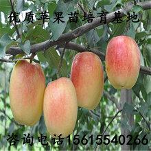 產地瑞陽蘋果苗出售價錢、瑞陽蘋果苗出售價錢