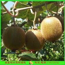 獼猴桃特價基地現摘優質野生獼猴桃特價精美禮盒圖片