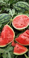 什么甜王【西瓜种子】-2020西瓜种子价格|报价-西瓜种子批发-黄页88种子网适合露地种露地甜王产量高图片