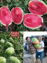 哪个公司产的双红金五西瓜种子正宗产量高抗病性强图片