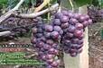 临朐葡萄合作社欢迎您