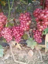 临朐套袋巨峰葡萄葡萄架下的七夕情图片