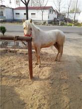 矮馬養殖山東仙農養殖場品種好價錢低圖片