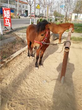 矮马怎么养殖驯马注意什么