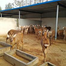 梅花鹿養殖的前景如何怎么養殖梅花鹿幼崽圖片