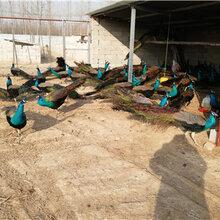 孔雀养殖怎么养殖孔雀孔雀苗多少钱图片