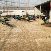 孔雀养殖技术跟踪山东仙农养殖场图片