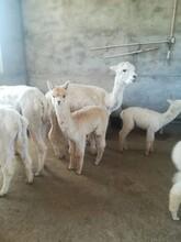羊駝養殖場羊駝影視合作羊駝租賃圖片