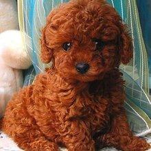 从哪里能买到泰迪犬泰迪犬智商排第几泰迪幼犬多少钱图片