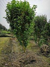 高2-3米木槿最新价格木槿种植基地木槿绿化工程苗图片