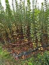 高2-3米紫荆条子最新价格哪里有紫荆条子基地供应图片