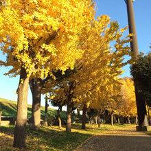 园林景观银杏树银杏树苗图片