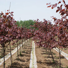 园林景观紫叶紫荆苗木图片