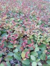 紫薇小苗种植基地/供应紫薇小苗/一年生紫薇小苗价格图片