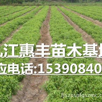 香樟小苗种植基地/供应香樟小苗/一年生香樟小苗价格