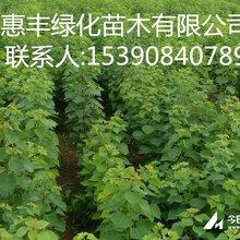 烏桕小苗價格供應1-2-3公分烏桕一年生烏桕小苗