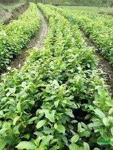 樂昌含笑小苗種植基地供應樂昌含笑小苗/一年生樂昌含笑小苗價格