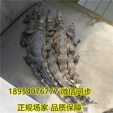 50公分鱷魚種苗養殖技術鱷魚養殖場直銷價格圖片