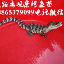 脱温鳄鱼苗价格鳄鱼养殖场直销价格图片