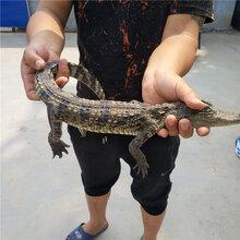 30公分鳄鱼幼苗价格鳄鱼养殖场图片